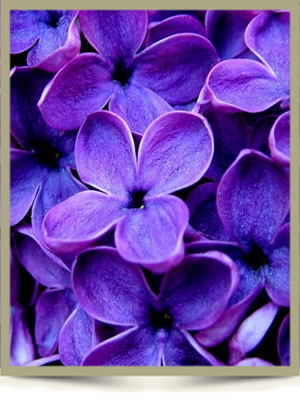 Purple flowers webframe 4